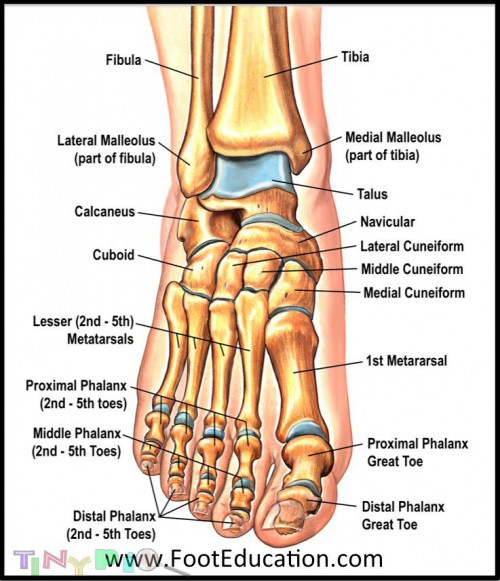 foot bones2